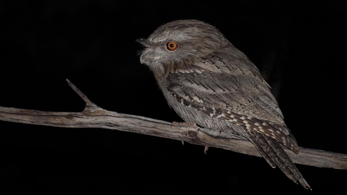 Tawny Frogmouth Podargus strigoidus Karijini National Park Pilbara Western Australia