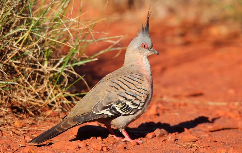Crested Pigeon Karijini Pilbara Western Australia