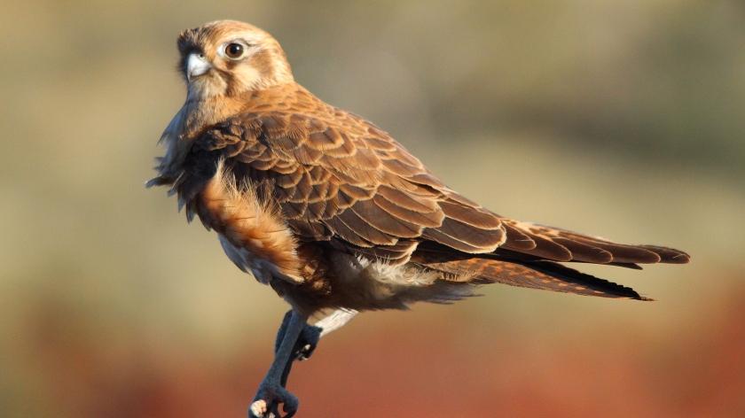 Brown Falcon Dales Gorge Karijini Pilbara Western Australia