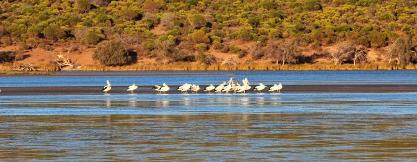 Australian Pelicans Murchison Kalbarri Western Australia