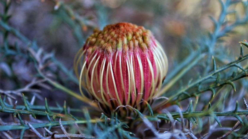 Honeypot Dryandara Banksia Nivea Paruna Western Australia