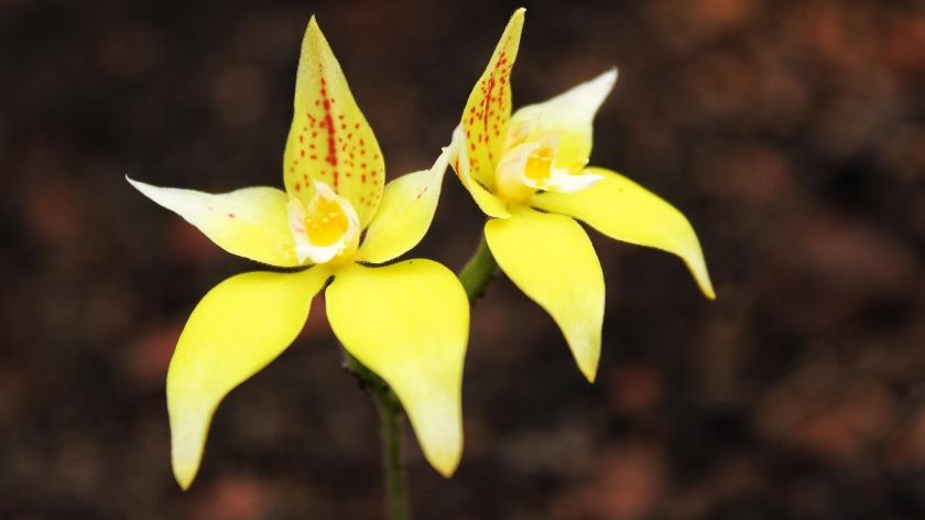 Cowslip Orchid Caladenia flava Beelu National Park Western Australia