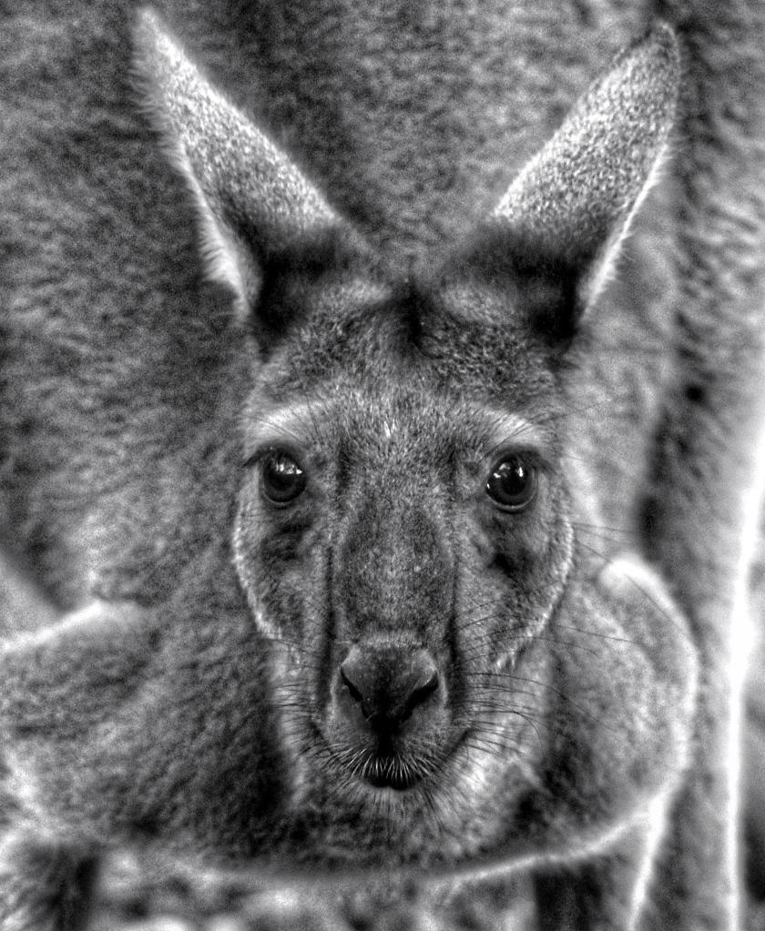 Western Grey Kangaroo Leeuwin National Park Western Australia