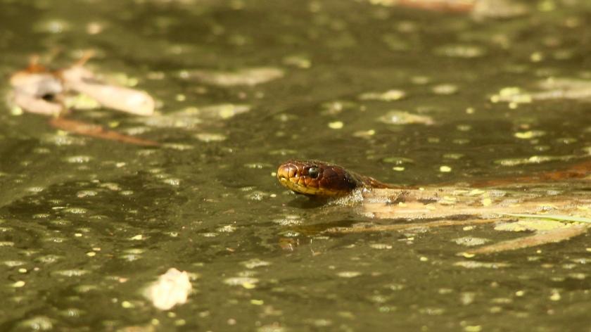Tiger Snake Notechis scutatis Herdsman Lake Western Australia