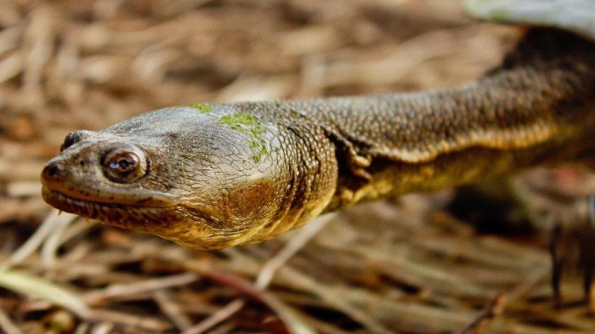 Oblong Turtle Chelodina Oblonga Herdsman Lake Western Australia