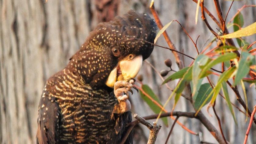 Forest Red Tailed Black Cockatoo Kalamunda NP Western Australia